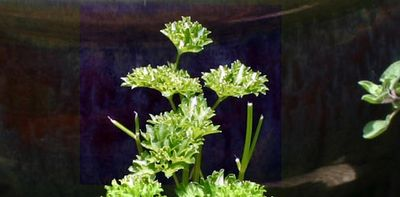 Parsley3