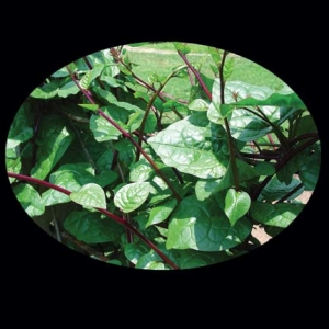 Red Malabar Spinach