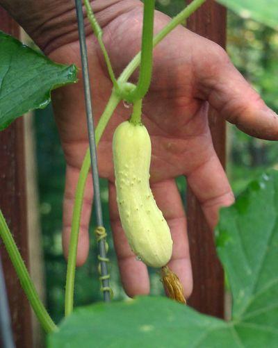 Cucumber1