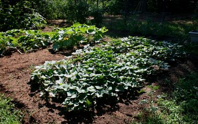 Sweet potato patch