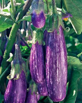 Eggplant fairy tale hybrid