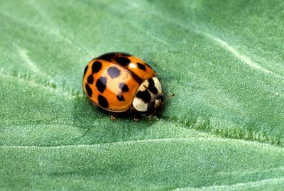 Asian_multicolored_lady_beetle