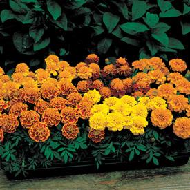Marigold janie mixed