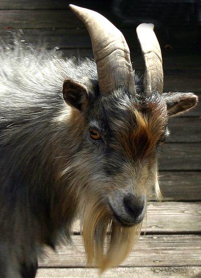 Goat3 copy