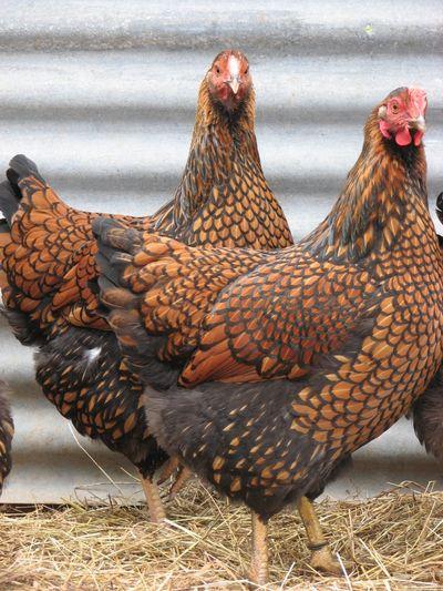 Chicken-golden-laced-wyandotte