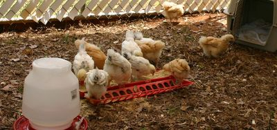 Chicks first day outside