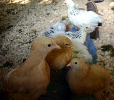 Chicks visiting 2