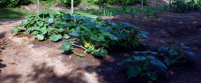 Garden squash2