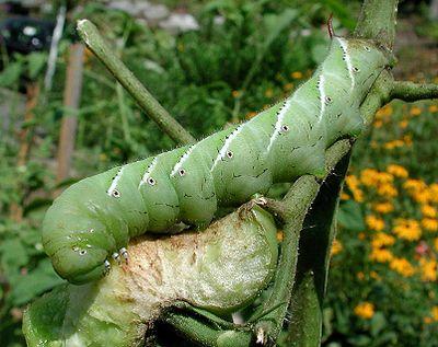 Tobacco_hornworm