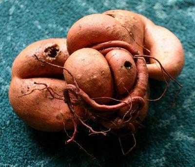 Space alien sweet potato