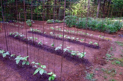 Garden - beans