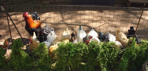 Chickens eating2