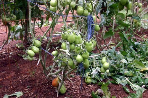Nekkid tomatoes