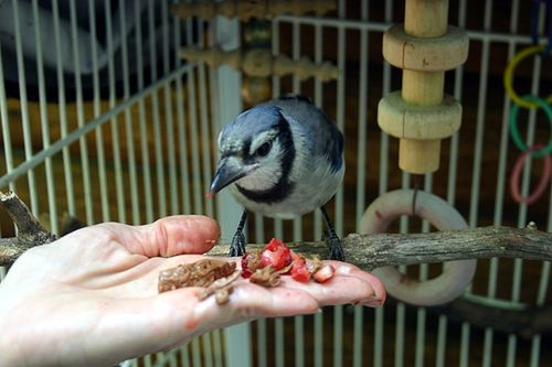 Blue jay eating in cage
