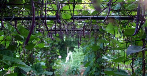Purple beans hanging