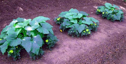Garden - zucchini