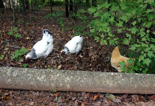 P chickens in woods