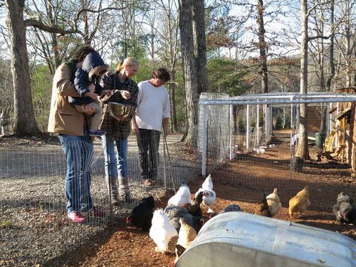 Pic Feeding Chickens