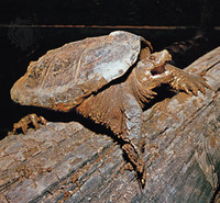 Snapping_turtle_2