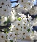 Bradford_blooms