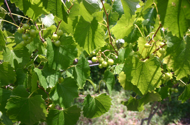 Scuppernongs2